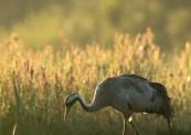 Żuraw (Grus grus) Crane