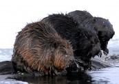 *Bóbr (Castor fiber) Beaver; Biebrza