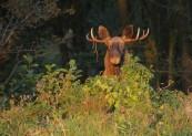 Łoś (Alces alces) Elk